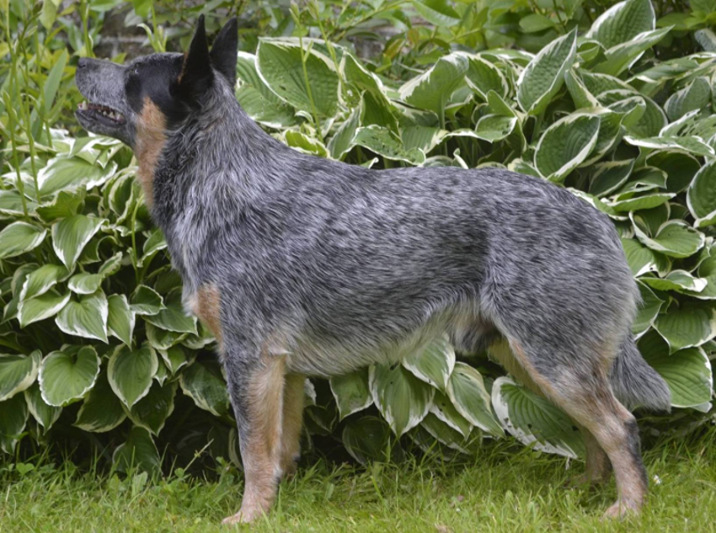 australian cattle dog ACD 0.2